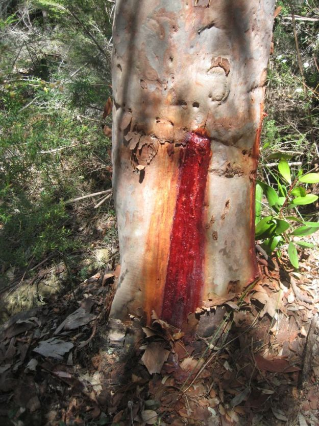 gum tree sap