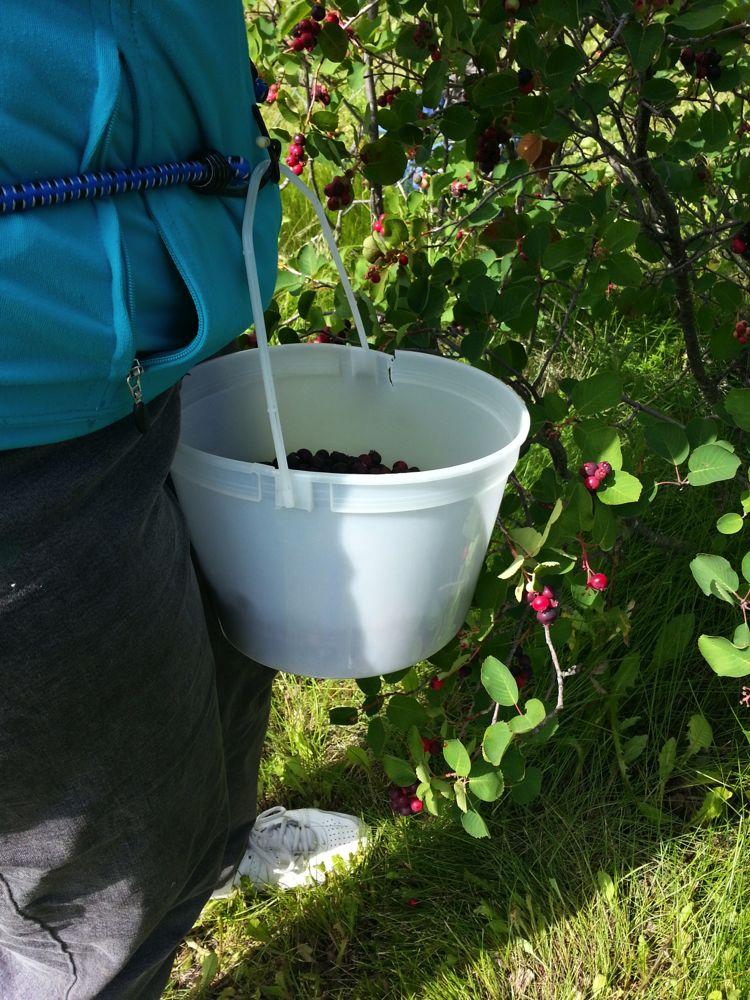 Saskatoon Berries | Evelyn Ward de Roo